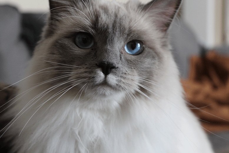 A picture of Roxy the ragdoll cat.